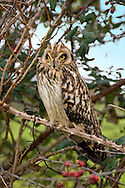 Short-eared Owl Asio flammeus L 35-40cm. Well-marked owl that often hunts in daylight. Flight is leisurely, often with stiffly-held wings. Perches on fenceposts. Sexes are similar. Adult and juvenile have buffish brown plumage, heavily spotted and streaked on upperparts; underparts are streaked but paler. Facial disc is rounded; note yellow eyes and short 'ear' tufts. Voice Displaying birds sometimes uttera deep hoots. Status Local and rather scarce. Nests on upland moors but outside breeding season favours lowland marshes, grassland and heaths, particularly near coasts. Influx of birds from Europe boosts winter numbers