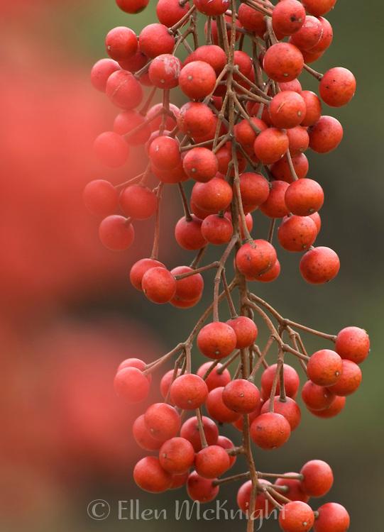 Berries from the Iigiri Tree