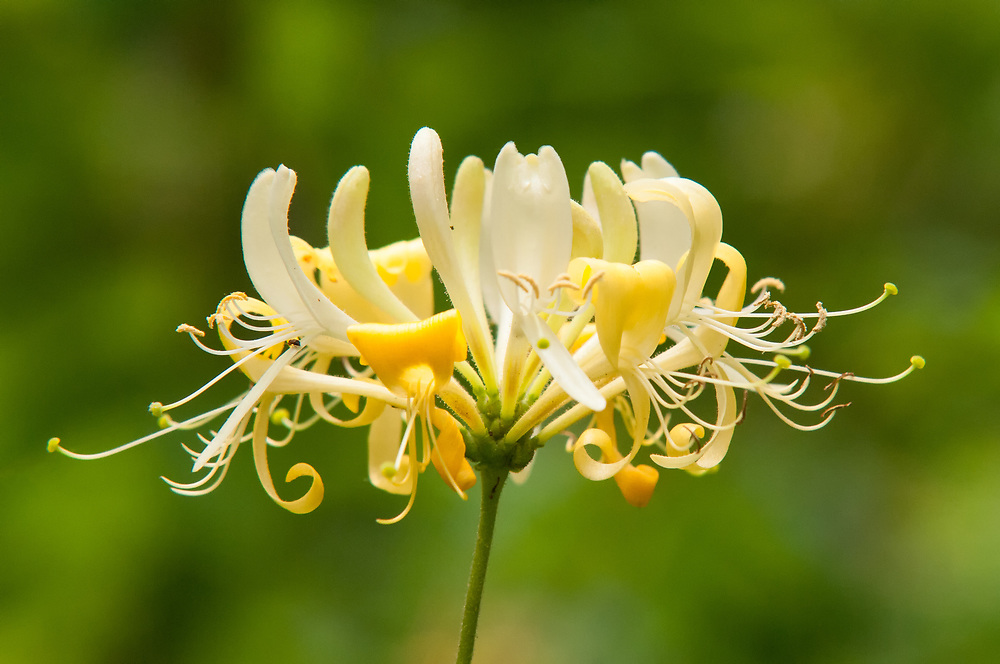 The Japanese honeysuckle is an Asian import that has found its way into the wild into most of the continental United States excluding Oregon, the Rocky Mountain states and the Great Plains. It can also be found in parts of Ontario, Canada. This beautiful honeysuckle was in full bloom in a small wooded area in Kent, Washington.