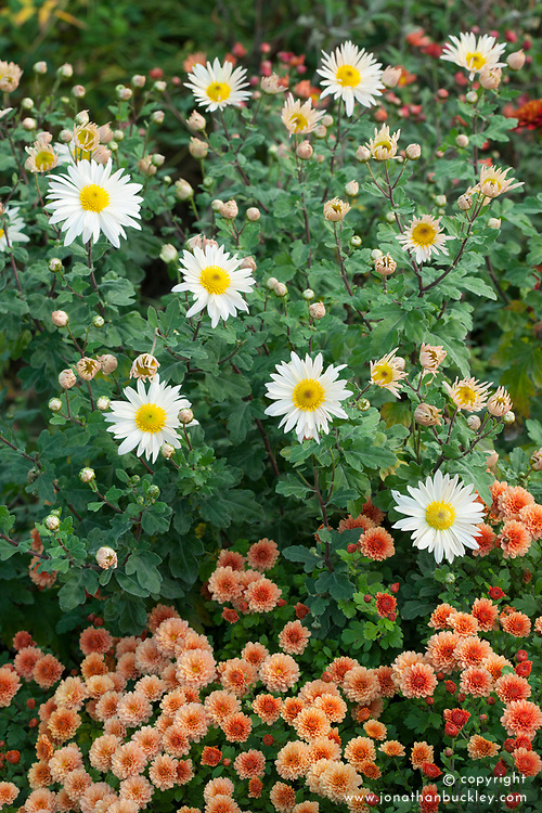 Chrysanthemum 'Picasso' with Chrysanthemum 'Elaine's Hardy White'