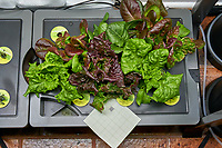 AeroGarden Farm 01 Right Tray at 24 days. R01, R03 Red Romaine; R02 Deer Tongue; R04, R06 Marvel of 4 Seasons; R05 Paris Island; R07, R09 Black-seeded Simpson; R08 Red Sails; R10 Dill; R11 Chives; R12 Genovese Basil. Image taken with a Leica TL-2 camera and 35 mm f/1.4 lens (ISO 800, 35 mm, f/11, 1/50 sec).