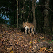 The Indochinese leopard (Panthera pardus delacouri) is a leopard subspecies native to Thailand. In Indochina, leopards are rare outside protected areas and threatened by habitat loss due to deforestation as well as poaching for the illegal wildlife trade. The population trend is suspected to be decreasing due to hunting.