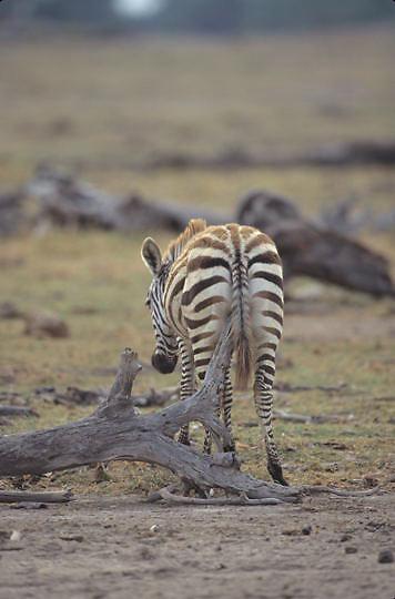 Burchell's Zebra, (Equus burchelli) Young scratching backside on stump. Kenya. Africa.