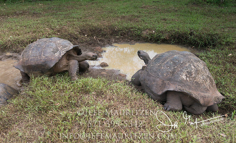 Two Galapagos Giant tortoises in a watering hole in the highlands of Santa Cruz island.