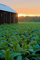 The sun rises over a field of tobacco in Hadley, Masaschusetts,