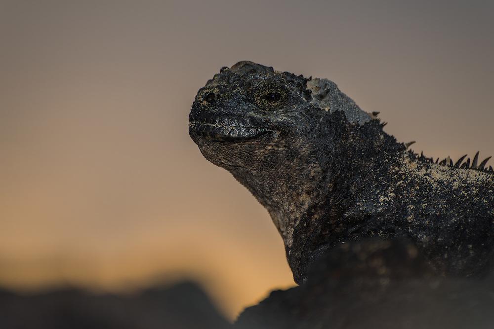 Marine iguana posing at sunset, Isla Isabela, Galapagos, Ecuador.