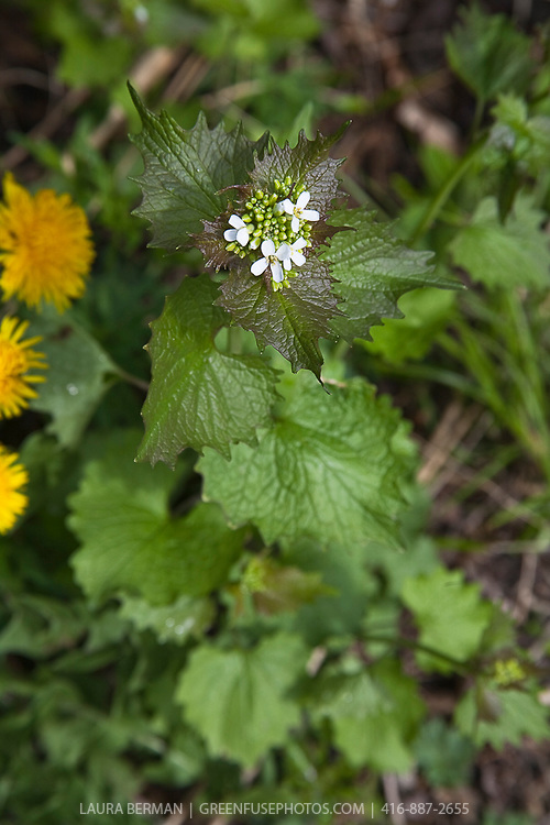 Garlic mustard, an invasive but edible weed (Alliaria petiolata).