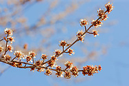Silver Maple tree (Acer saccharinum) branches in bloom