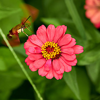 Clearwing Hummingbird Moth on a Zinnia Flower. Image taken with a Fuji X-H1 camera and 80 mm f/2.8 macro lens