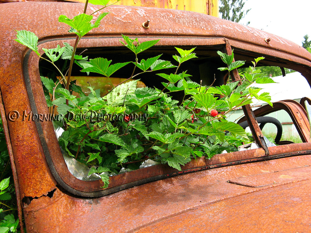 Salmon berries grow from the cab of an abandoned moving truck at a historic homestead in Olympic National Park.