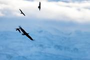 White-tailed Eagle, Haliaeetus albicilla, and Hooded Crows, Corvus cornix, Varanger, Norway