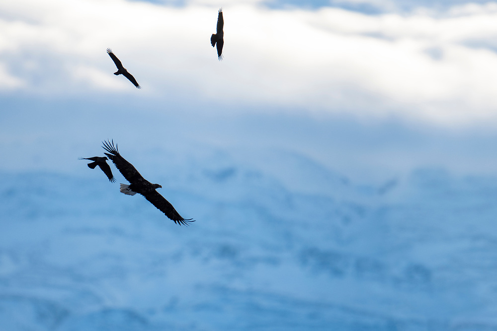 White-tailed Eagle, Haliaeetus albicilla, and Hooded Crows, Corvus cornix, Varanger, Norway