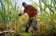 23 JULY 2002 - TRINIDAD, SANCTI SPIRITUS, CUBA: A machetero (literally machete man but colloquially a man who work with machetes) works in a sugar cane field in the Valle de los Ingenios (Valley of the Sugar Mills) near the colonial city of Trinidad, province of Sancti Spiritus, Cuba, July 23, 2002. Trinidad is one of the oldest cities in Cuba and was founded in 1514. Valle de los Ingenios was the heart of Cuba's early sugar industry and is still a leading producer of sugar, one of Cuba's most important cash crops..PHOTO BY JACK KURTZ
