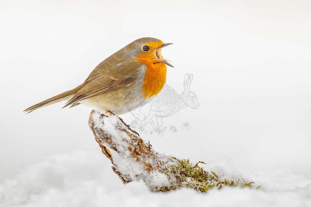 European Robin (Erithacus rubecula) adult yawning, standing on fallen branch in snow covered ground, South Norfolk, UK, March
