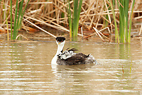 A Western Grebe floats in a northern Utah marsh pond and carries its young on its back while its mate fishes for small minnows to feed the young.