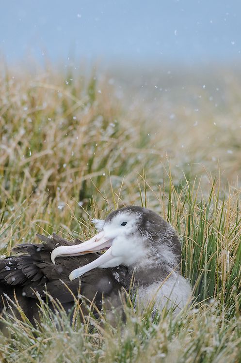 A chick of Wandering Albatross (Diomedea exulans) grooms its feathers in a snow storm..Prion Island, South Georgia.Antarctica