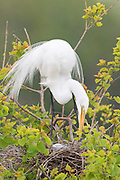 A great egret (Ardea alba) checks its eggs on the nest, High Island, Texas