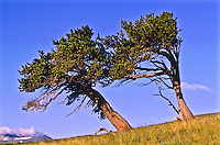 Bristlecone Pine (Pinus aristata)  These Bristlecone pines have grown into the leeward direction because of strong winds.  The Bristlecone pines in Colorado are between 1500-2000 years old.  Windy Ridge, Colorado.