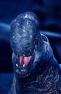 USA, Vereinigte Staaten Von Amerika: Nördlicher See-Elefant (Mirounga angustirostris), brüllender adulter See-Elefantenbulle bei Nacht, Präsentieren der Nase, Länge der Nase kann 60 cm erreichen, je älter und stärker das Tier umso größer die Nase, allein das Präsentieren dieses Organs kann Nebenbuhler zur Flucht veranlassen, Strand direkt neben California State Route 1, San Simeon, Kalifornien | USA, United States Of America: Northern Elephant Seal (Mirounga angustirostris), roaring adult bull elephant seal at night, presenting of the nose, length of the nose can getting 60 centimeter, as older and stronger the animal so bigger the nose, just only the presenting of the nose can putting rivals to rout, beach directly next to Cabrillo Highway 1, San Simeon, California |
