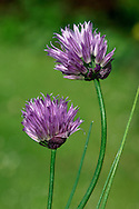 CHIVES Allium schoenoprasum (Liliaceae) Height to 40cm<br /> Tufted, bulbous perennial of damp, grassy places on limestone rocks. FLOWERS are purplish and borne in heads, 2-4cm across, comprising 10-30 flowers and 2 papery bracts; stamens do not project (Jun-Sep). FRUITS are capsules. LEAVES are grey-green, hollow and cylindrical. STATUS-Widely cultivated; local native plant, mainly in W.