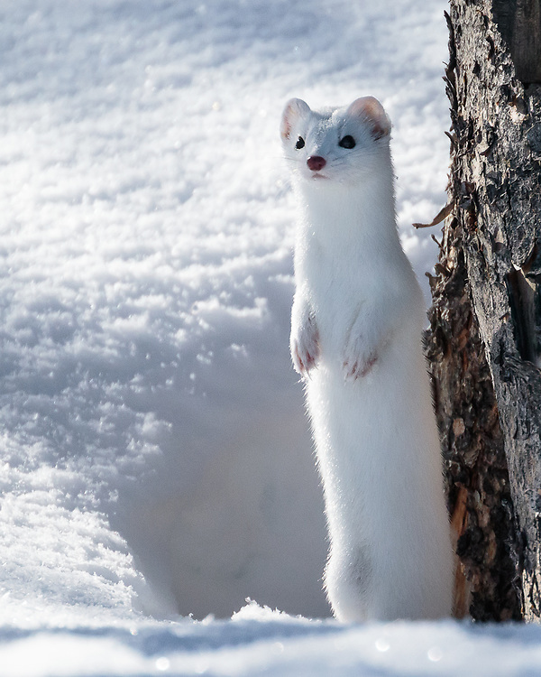 Mustela frenata, Yellowstone National Park, Wyoming