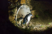 Blue Penguins at the Oamaru Blue Penguin Colony, Oamaru, Otago, South Island, New Zealand
