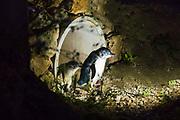 Blue Penguins at the Oamaru Blue Penguin Colony, Oamaru, Otago, South Island, New Zealand