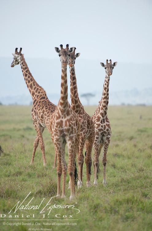 Giraffe (Giraffa camelopardalis); a subspecies known as the Masai Giraffe (G.g.tippelskirchi), Masai Mara National Reserve, Kenya, Africa