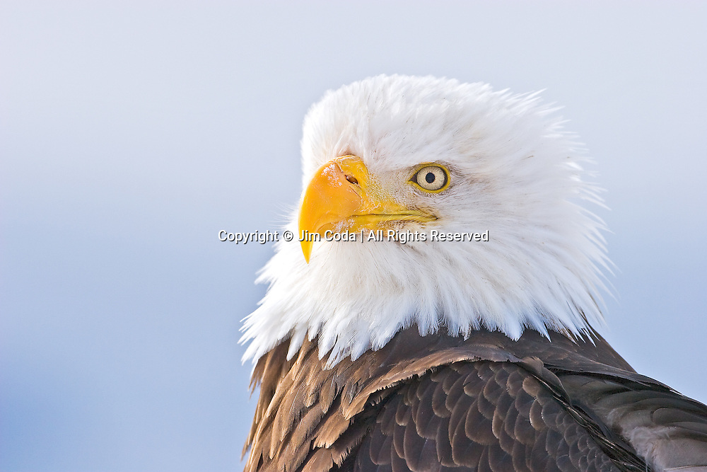 A bald eagle perches on the Homer Spit.