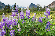 Purple-blue lupine flowers (or lupins) bloom on Apikuni Falls Trail in Glacier National Park, Montana, USA. Lupinus is a genus in the pea family (also called the legume, bean, or pulse family, Latin name Fabaceae or Leguminosae).