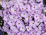 "Spreading phlox / Phlox diffusa flowers glow with a pinkish lavender color on Sauk Mountain, Washington, USA. Phlox (pronounced ""flocks,"" from the Greek word for ""flame"") is a genus of perennial and annual plants in the family Polemoniaceae. Phlox are found mostly in North America (one species in Siberia) in diverse habitats from alpine tundra to open woodland and prairie."
