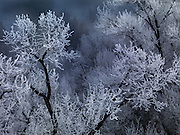 Idaho, east, Frost on Cottonwood forest in winter in the Cress Creek Nature Preserve area of the Snake River Mountains
