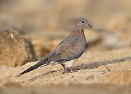 Laughing Dove - Streptopelia senegalensis