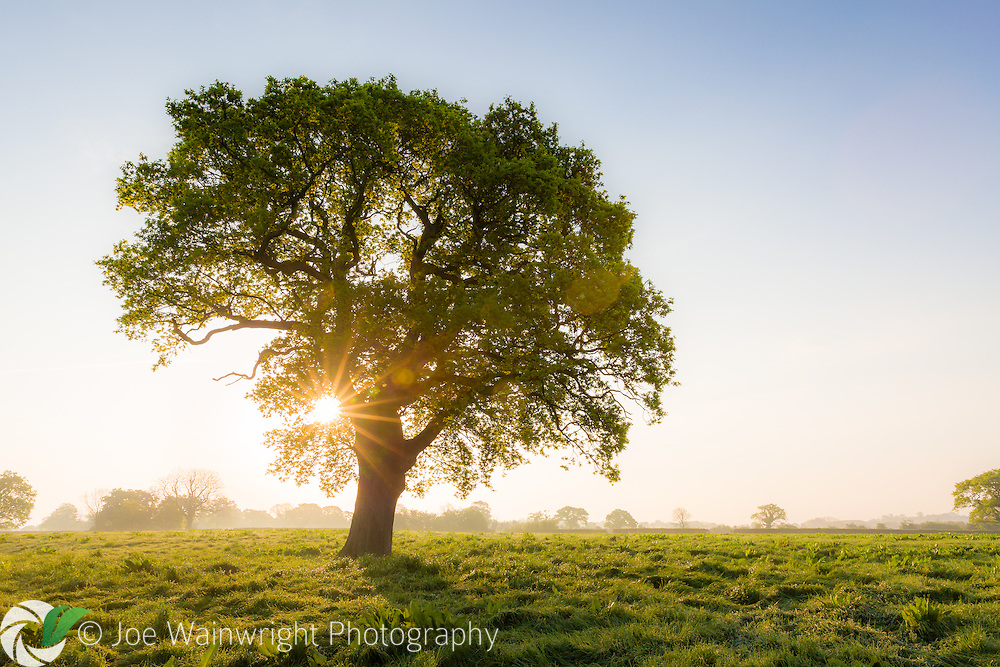 The sun rises behind an oak in a misty field near Tiverton, on The Sandstone Ridge, Cheshire