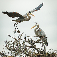 Ardea herodias, Texas Gulf Coast
