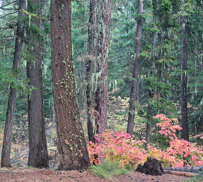 Colorful Autmn Maple Trees in Ponderosa Pine Forest, Lake Wenatchee, Washington State