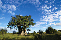 A Baobab tree on the savanna of Kruger National Park, South Africa.  This tree was used as a southern ground hornbill (Bucorvus leadbeateri) nest site.