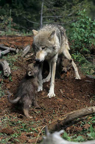 Gray Wolf, (Canis lupus) Adult and pup. Montana.  Captive Animal.