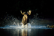 A young bull  moose charges across Tracey pond, attracted by a cow moose. Baxter State Park, Maine, USA