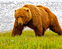 Coastal brown bear Hallo Bay, Katmai National Park, Southwest Alaska, summer