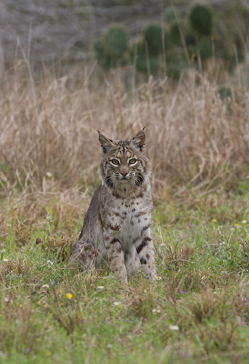 Bobcat, Lynx rufus;<br /> Photographer:  Eddie Canales<br /> Property:  La Barronena Ranch / Thomas C. Musgrave III<br /> Duval County