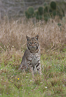 Bobcat, Lynx rufus;<br />
