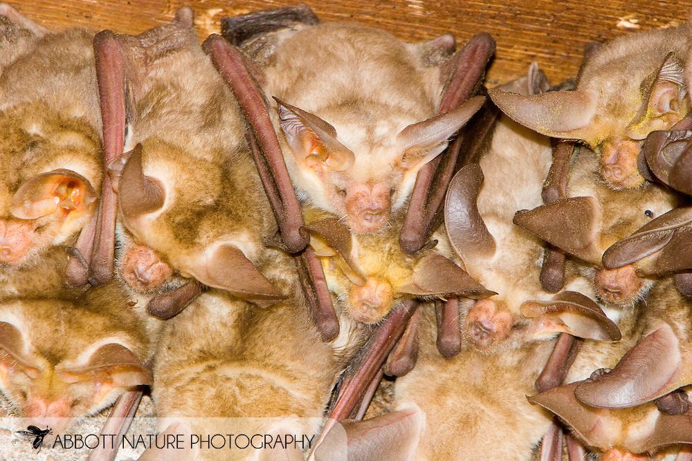 Pallid Bat (Antrozous pallidus)<br /> TEXAS: Presidio Co.<br /> Chinati Mountain SNA<br /> 8-Sept-2005<br /> J.C. Abbott