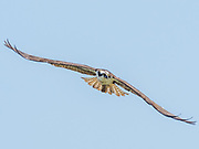 An osprey scans the Chesapeake bay for a meal.