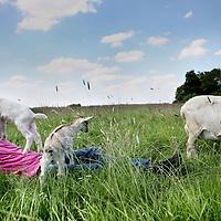 """Nederland,Zegveld , 30 mei 2011..Juerd van den Burgt van locatie """"de Blauwe Meije"""" midden in het Groene Hart in zijn weiland met geit Pien en de babygeitjes.Foto:Jean-Pierre Jans"""