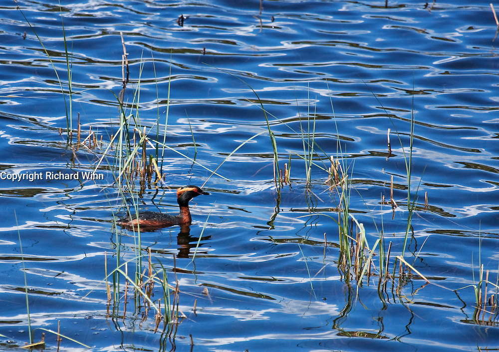 A slavonian grebe, the rarest of the breeding grebes in Britain skulking amongst some reeds at Loch Ruthven in Scotland. The blue sky is reflected in the water, giving a more abstract view.