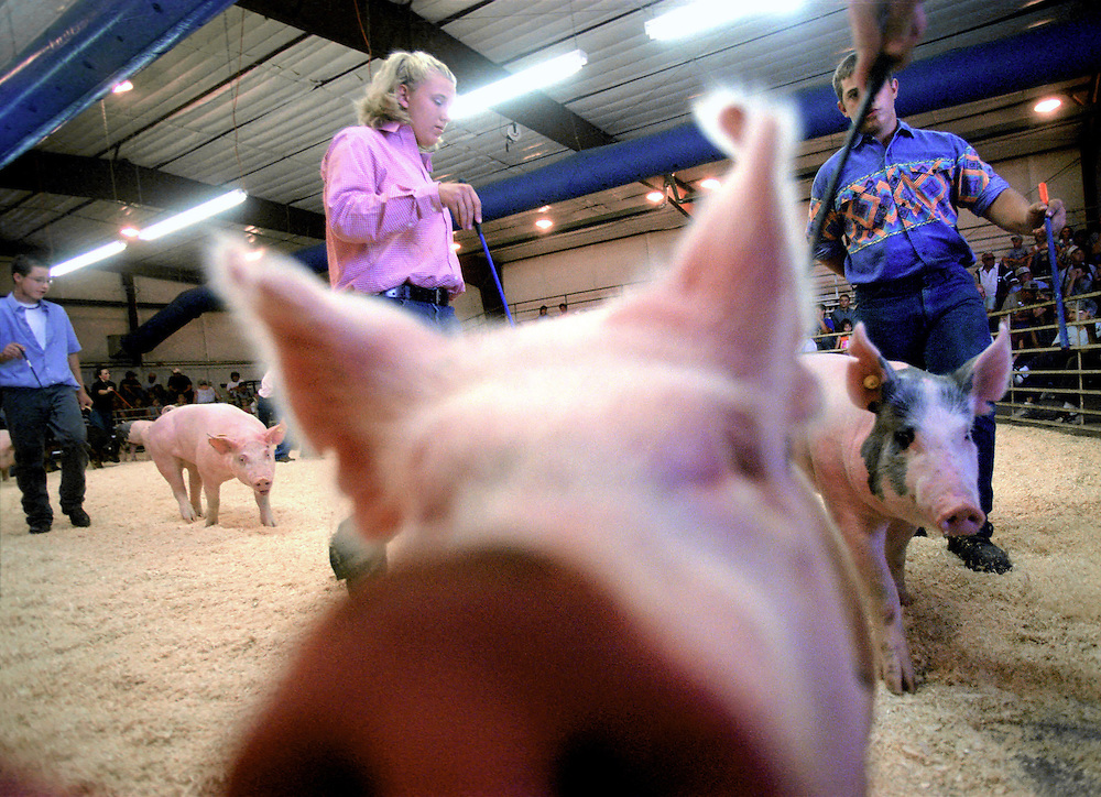 Swine Judging, Pig Judging, County Fair, Fair, Farming, Kids, Boys, Girls, Pig, Pigs, Walk, Walking, Swine, Pork, Nose, Snout, Sniff, Look, Looking, Animals, Competition, Compete, Judging,  Control, Agriculture, Resistance, Colorado, Livestock, Show