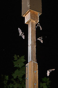 "Dgital composite of indiana bats (Myotis sodalis) flying in the vicinity and emerging from an artificial day roost - Indianapolis, Indiana. These ""bat boxes"" were created for a research project managed by the Center for Bat Research at Indiana State University to mitigate for lost habitat with this highly endangered species."