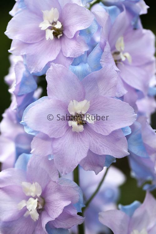 Delphinium x cultorum 'F1 Raider Blue'