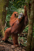 A male orangutan stands on two feet and appears to strike a dance pose.